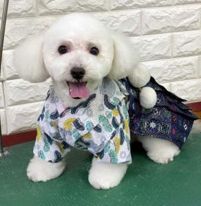 東京都 上見様のご愛犬 ボロニーズ!   コハク君!