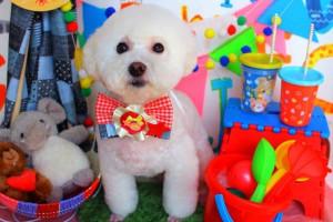 石川県  M様のご愛犬  ボロニーズ! プヨンちゃん!