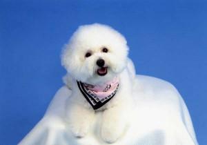 千葉県 水浦様のご愛犬 ボロニーズ!  かのこちゃん!