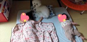 京都市 石本様のご愛犬 ボロニーズ!  リン君!
