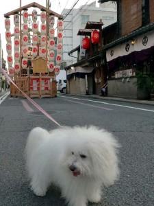 兵庫県 中田様のご愛犬 ボロニーズ!  アルテミスちゃん!