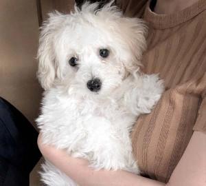 北九州市 A様のご愛犬 ボロニーズ!  つむぎちゃん!